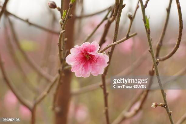lonely peach blossom - peach blossom stock pictures, royalty-free photos & images