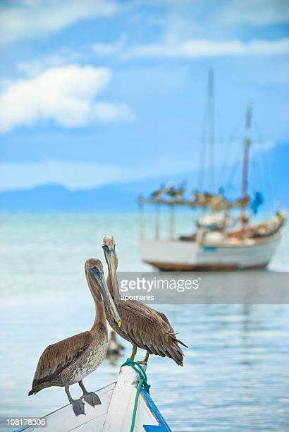 Lonely Pelicans