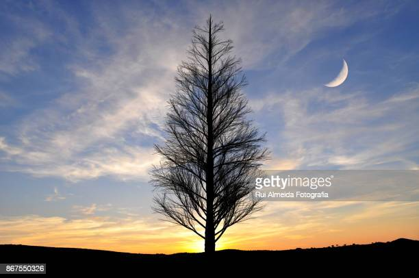 Lonely pine tree on sunset with half moon
