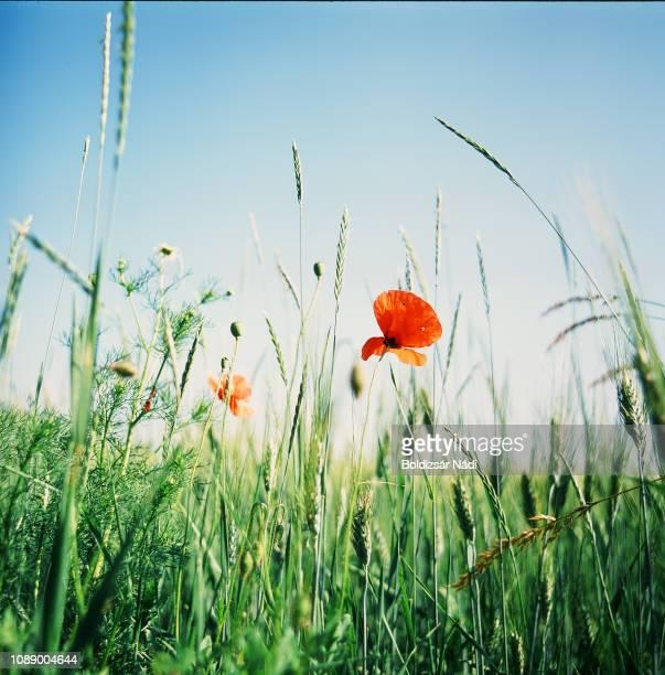 a lonely poppy blossom - grano graminacee foto e immagini stock