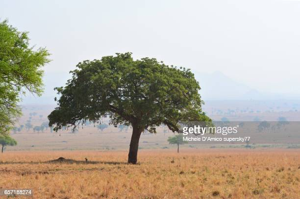Lonely sausage tree in the dry savannah