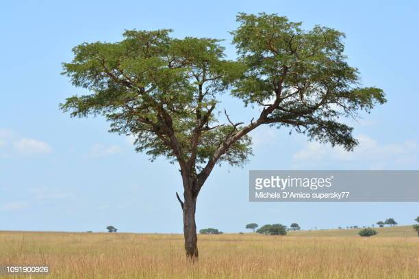 Lonely sausage tree in the savannah