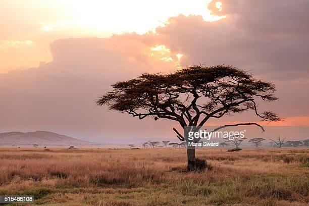 A lonely tree at sunset - Serengeti National Park, Tanzania