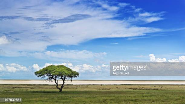 lonely tree, etosha national parc, namibia - dry stock pictures, royalty-free photos & images