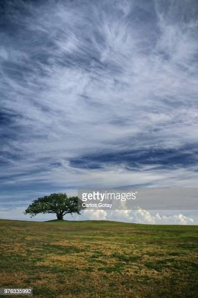 Lonely tree growing on hill amidst fields, Arecibo, Puerto Rico