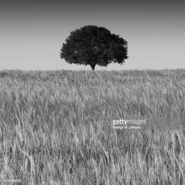 lonely tree ii - 休耕田 ストックフォトと画像
