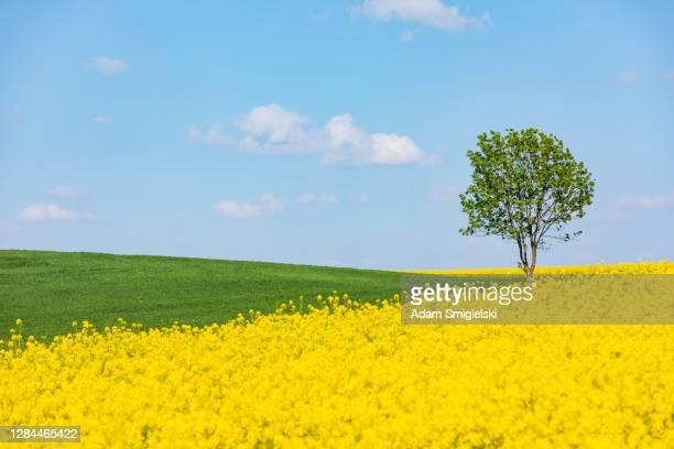 キャノーラ畑の孤独な木 - キャノーラ ストックフォトと画像