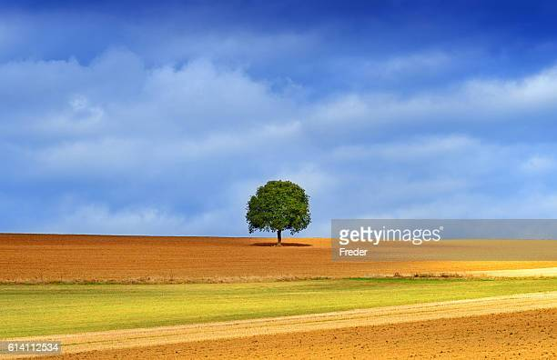lonely tree in golden autumn light