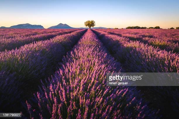 lonely tree in lavender field - アルプドオートプロバンス県 ストックフォトと画像
