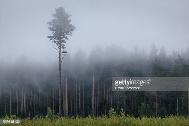lonely tree in mysterious forest in lahemaa national park in estonia - harjumaa stock pictures, royalty-free photos & images