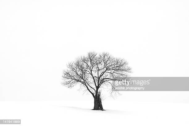 lonely tree in snow - 八幡平市 ストックフォトと画像