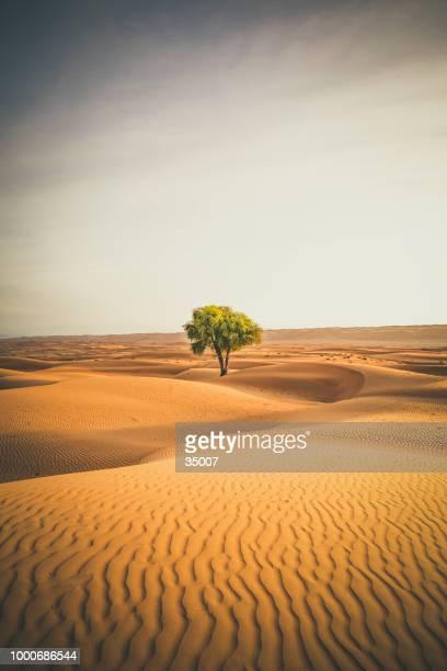 árbol solitario en el wahiba sands desierto de omán - oasis fotografías e imágenes de stock