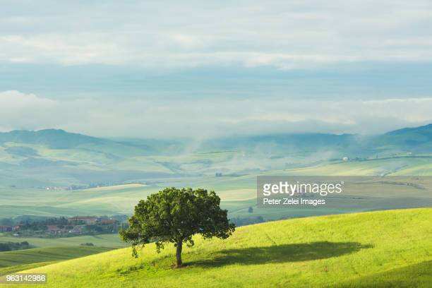 lonely tree in the wheat field, tuscany, italy - single tree stock pictures, royalty-free photos & images
