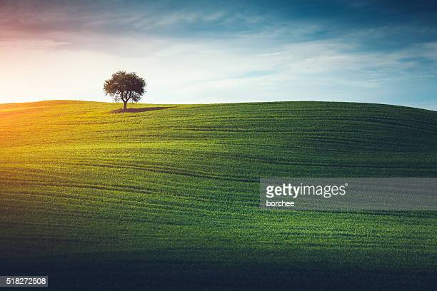 lonely tree in tuscany - landscape scenery stock photos and pictures