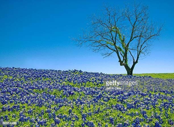 Lonely Tree on Bluebonnet Hill
