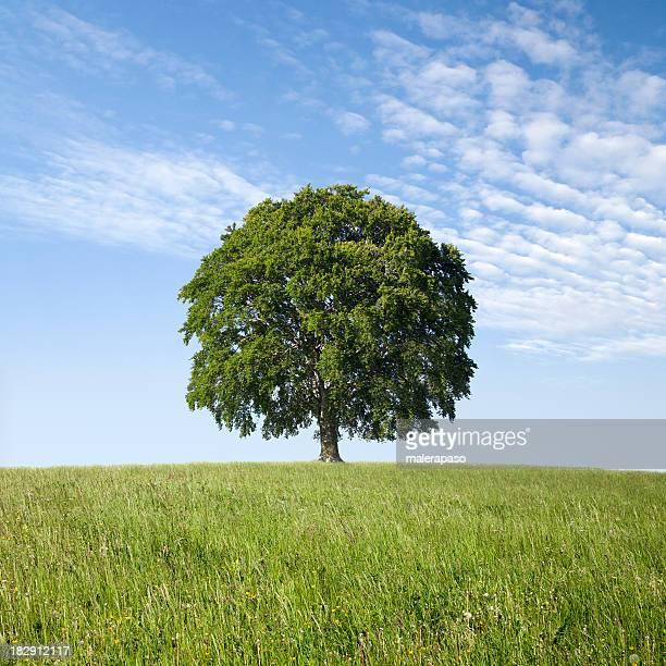 Árvore solitária no campo verde. Faia.