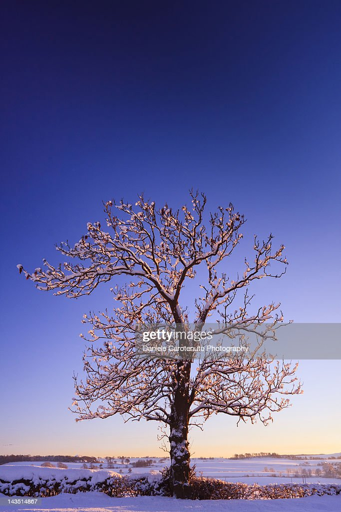 Lonely tree on snowed landscape : Stock Photo