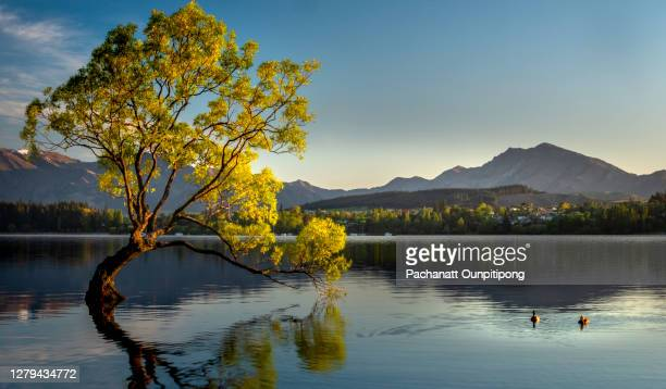 lonely tree standing in lake with two ducks swimming in lake wanaka - new zealand stock pictures, royalty-free photos & images
