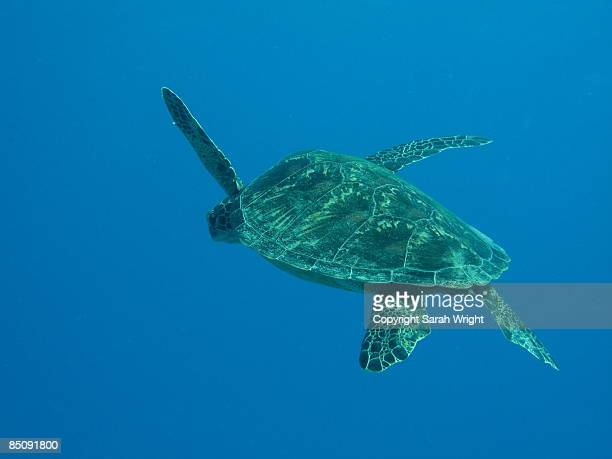 Lonely Turtle