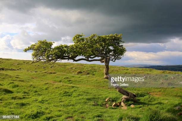 Lonely wind-shaped tree, England