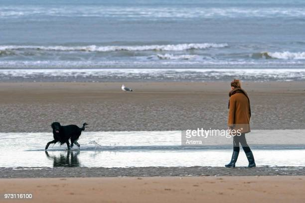 Lonely woman walking on desolate sandy beach with playful black dog running through the water along the North Sea coast in winter