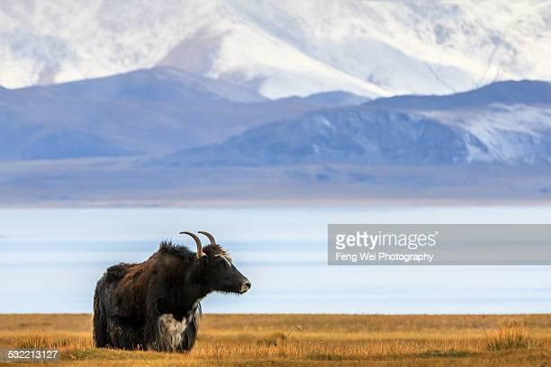 lonely yak at zhari namco, ngari, tibet - yak stock pictures, royalty-free photos & images
