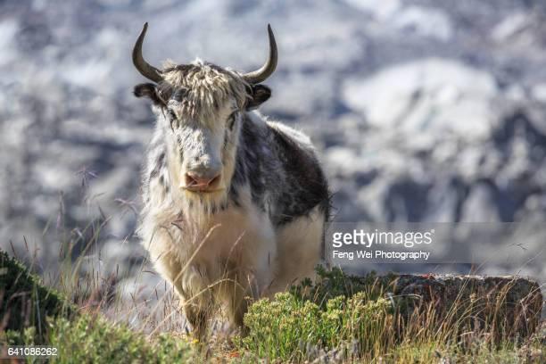 Lonely Yak By Hispar Glacier, Jutmal To Bitanmal, Biafo Hispar Snow Lake Trek, Central Karakoram National Park, Gilgit-Baltistan, Pakistan