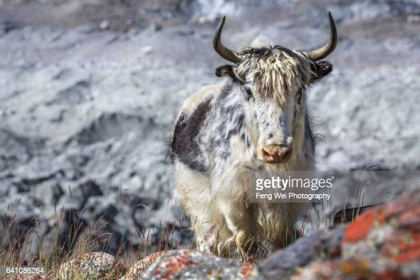 lonely yak by hispar glacier, jutmal to bitanmal, biafo hispar snow lake trek, central karakoram national park, gilgit-baltistan, pakistan - yak stock pictures, royalty-free photos & images