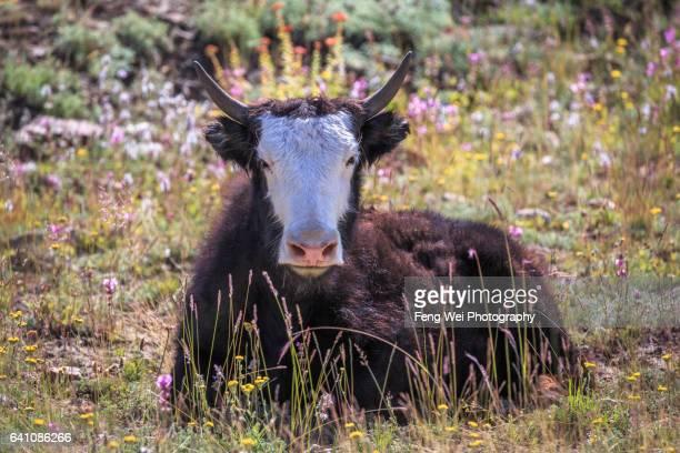 lonely yak in karakoram, jutmal to bitanmal, biafo hispar snow lake trek, central karakoram national park, gilgit-baltistan, pakistan - yak stock pictures, royalty-free photos & images