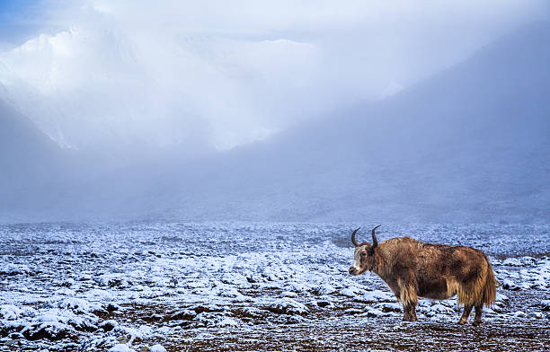 Lonely Yak In The Himalayas, Nepal Wall Art