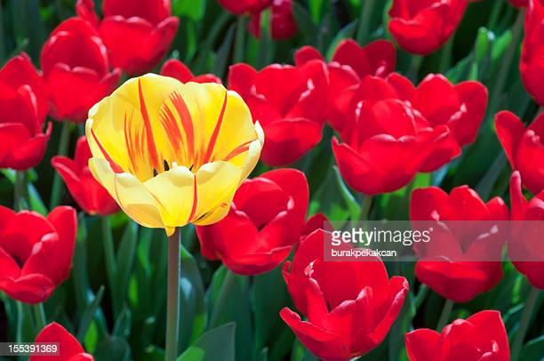 Solitude Tulipe jaune et rouge en arrière-plan, Istanbul, Turquie