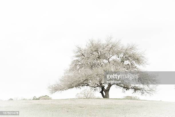 lonesome oak - live oak tree stock pictures, royalty-free photos & images