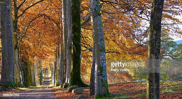long avenue of autumn beech trees - crieff stock pictures, royalty-free photos & images