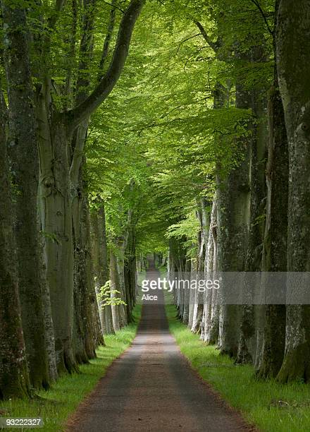 long avenue of beech trees in the spring - crieff stock pictures, royalty-free photos & images