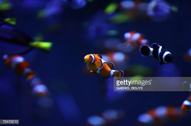 Anemonefish swim in the Aquarium of the Pacific complex in Long Beach California 08 November 2006 The Anemonefish is also known as Common clownfish...