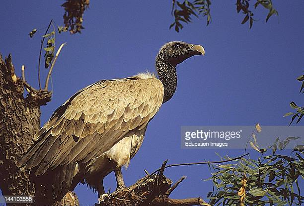 Long Billed Vulture Sariska Wildlife Sanctuary Rajasthan India