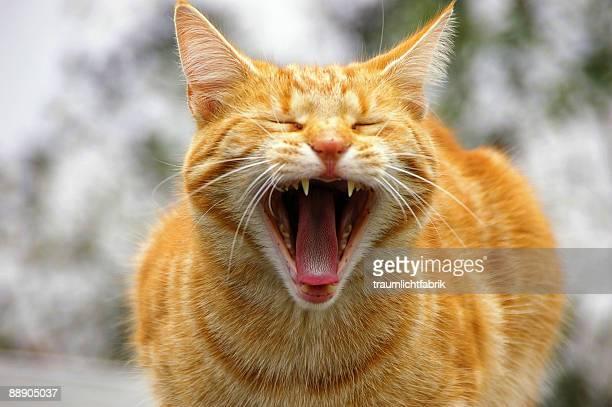 Long cat tongue