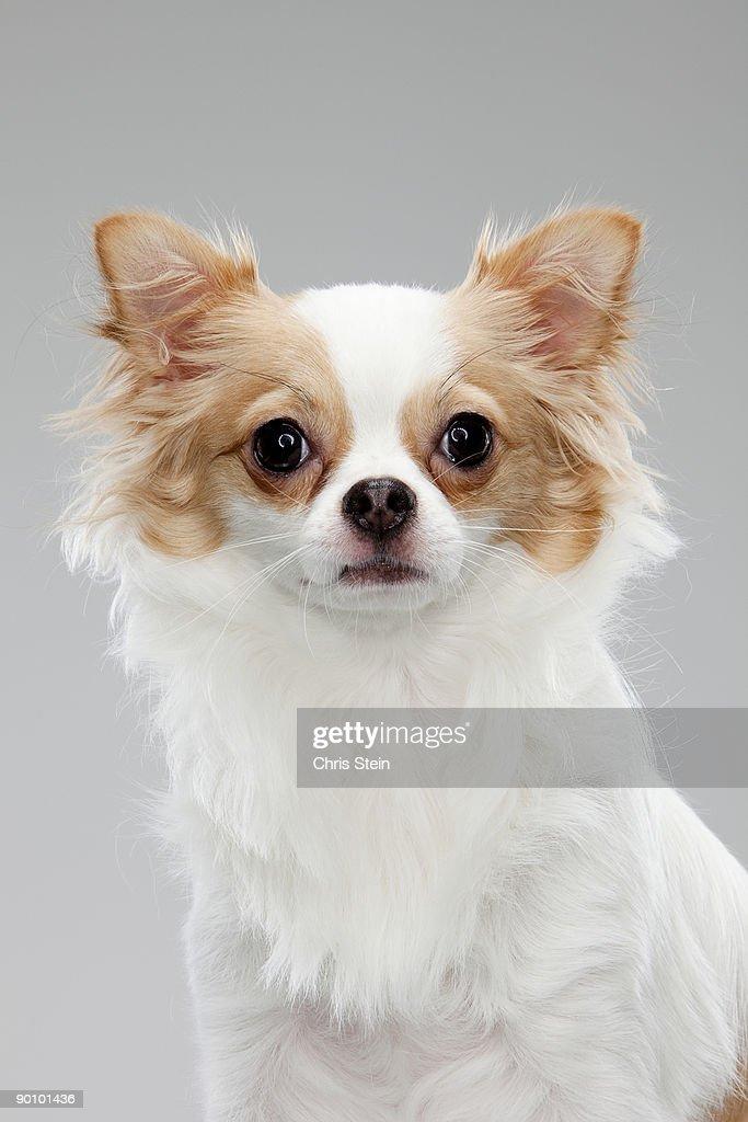 Long coat Chihuahua Looking Straight ahead : Stock Photo