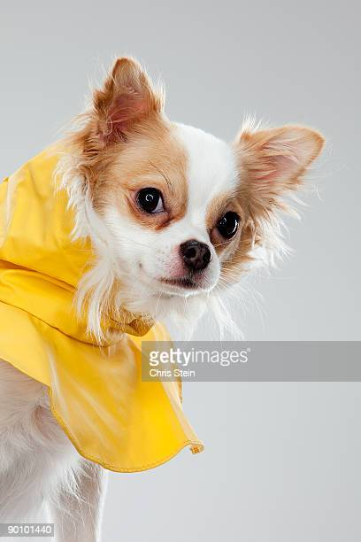Long coat Chihuahua peeking in