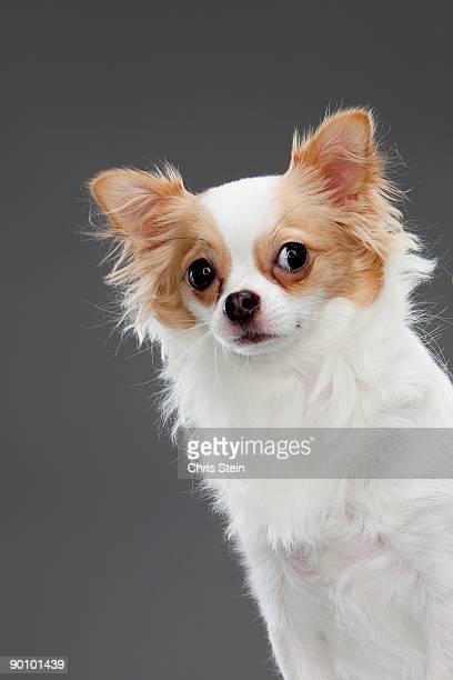 long coat chihuahua - chihuahua raça pura - fotografias e filmes do acervo