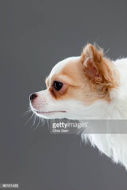 long coat chihuahua profile - long haired chihuahua stock photos and pictures