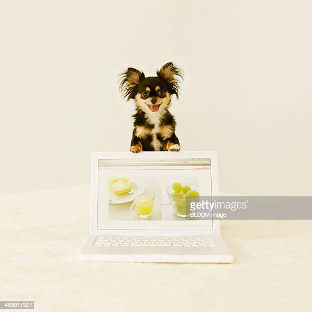 long coat chihuahua with laptop - long haired chihuahua stock photos and pictures