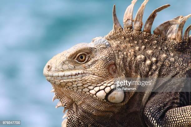 long day in the sun - green iguana ストックフォトと画像