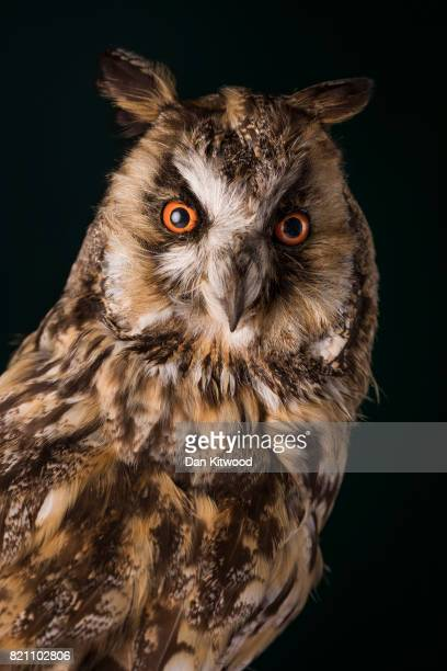 A long eared owl is pictured at UCL's Grant Museum of Zoology on July 17 2017 in London England Conservation work has been undertaken on the owl in...