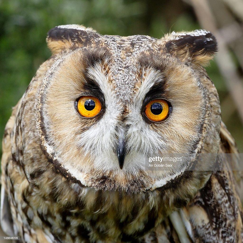 Long eared owl : Stock Photo