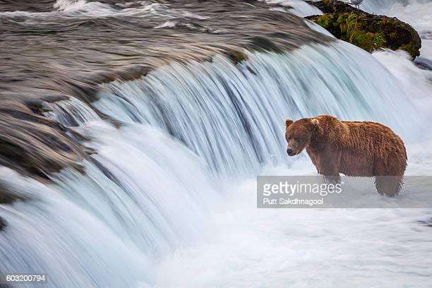 Long exposure of A Brown Bear (Ursus arctos) Standing at Waterfalls