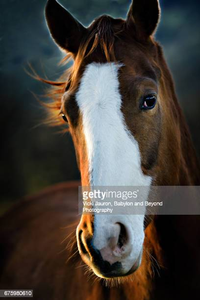 long face of a horse at sunrise - light brown eyes stock photos and pictures