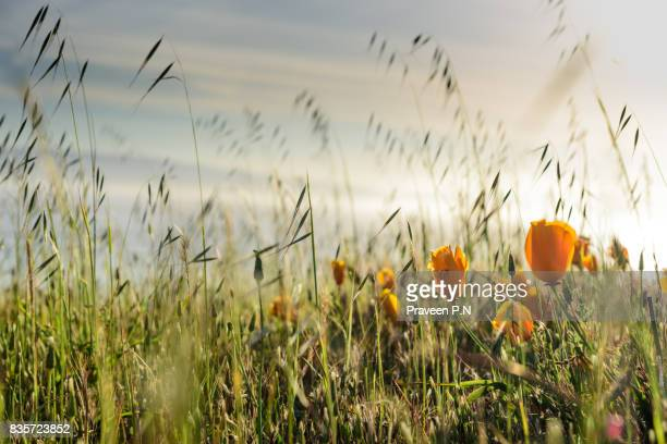 Long grass and California poppies