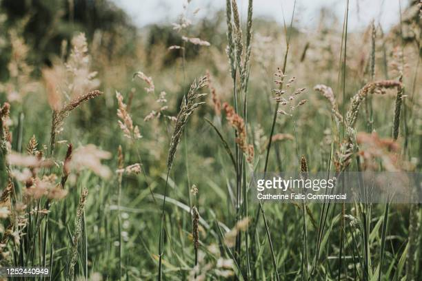 long grass and wildflower - meadow stock pictures, royalty-free photos & images