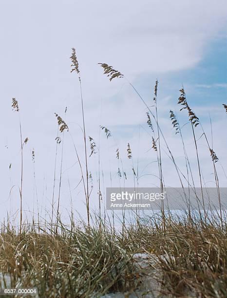 Long Grass at Beach